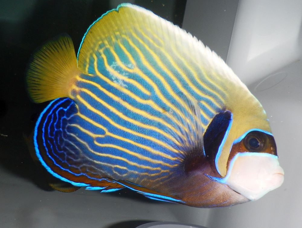 POMACANTHUS IMPERATOR - IMPERATOR KAISERFISCH<br />160,00 € *