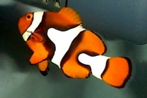 AMPHIPRION-PERCULA---ECHTER-CLOWNFISH
