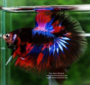 KAMPFISCH-IMPORT-INDONESIEN-HANDLING-CHARGE-BETTA-IMPORT-INDONESIA---22092020