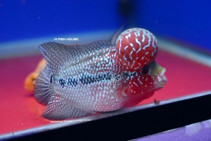 IMPORTHANDLING-FLOWERHORN-4-6-quot