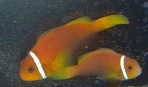 AMPHIPRION-NIGRIPES---MALEDIVEN-CLOWNFISCH----PAAR--PAIR-
