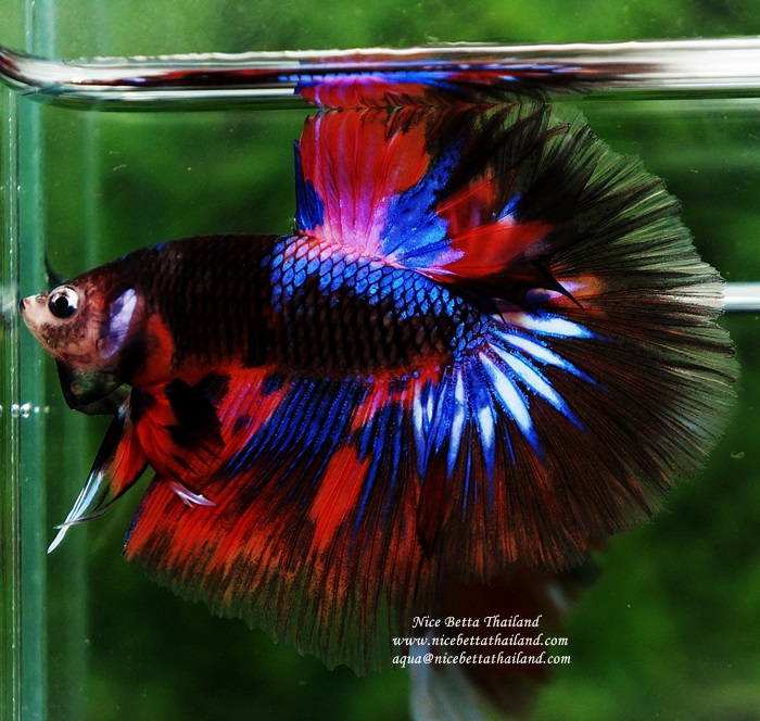 Bild 1 von KAMPFISCH IMPORT INDONESIEN/ HANDLING CHARGE BETTA IMPORT INDONESIA - 26/10/2020