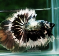 KAMPFISCH IMPORT THAILAND / HANDLING CHARGE BETTA IMPORT THAILAND  -26/10/2020