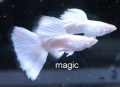 Bild 2 von KAMPFISCH IMPORT INDONESIEN/ HANDLING CHARGE BETTA IMPORT INDONESIA - 26/10/2020